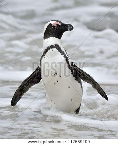 African Penguin (spheniscus Demersus) Walk Out From Ocean.