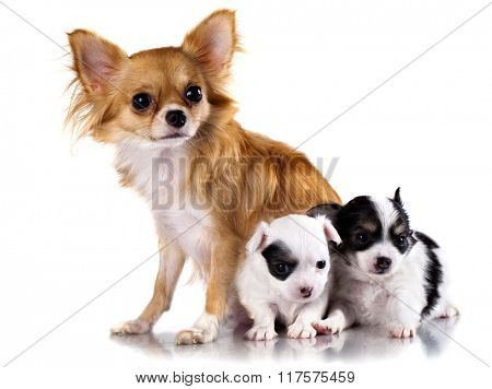 chihuahua dog mother and  puppy on white background,