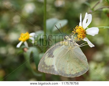 Beautiful Butterfly - Appias Albina Semperi And Flower