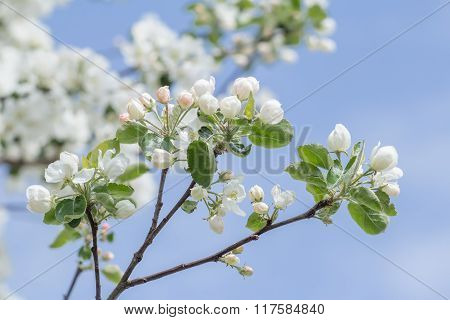 Spring developing of folding pink and white apple tree flower buds and leaves