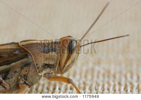 Grasshopper Or Cricket