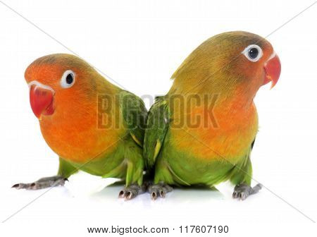 Young Fischeri Lovebirds