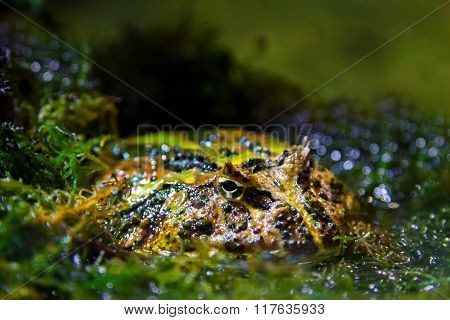 a Image exotic amphibians Brazilian horned toadf poster