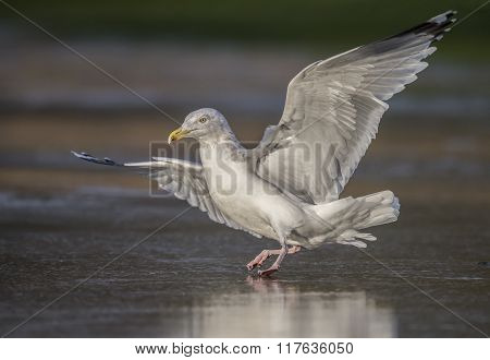 Herring Gull, Larus Argentatus, Flying From A Frozen Puddle