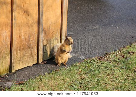 Squirrel, Blonde (Eastern Gray) beside shed