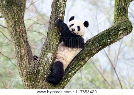 Giant Panda Sitting in Tree, China