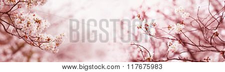 Serene spring cherry blossoms, Title wide header dimension image. Intentionally shot in surreal impressional color.