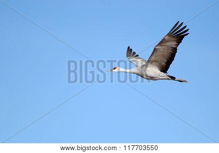 Sandhill Crane in Flight with Blue Sky Background