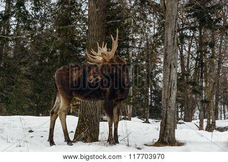 Moose With Antlers (omega Park Of Quebec)