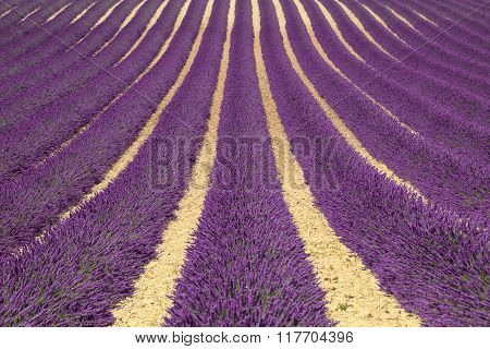 Lavender Flower Blooming Fields As Pattern Or Texture. Provence, France.