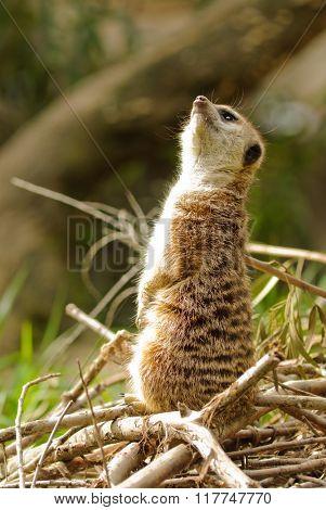 Meerkat (suricata suricatta) on the lookout for potential danger