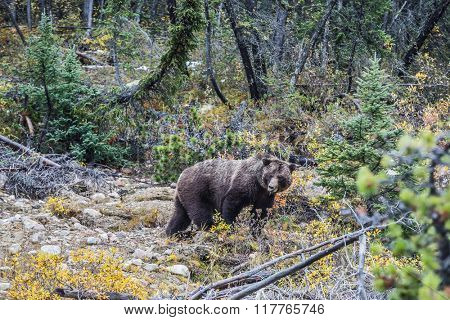 Big brown bear looking for edible roots, berries and acorns. Autumn forest in Jasper National Park