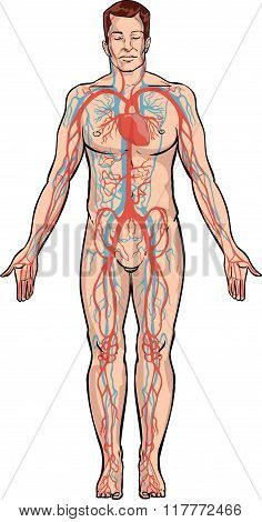 White Backround Vector Illustration Of A Circulatory System
