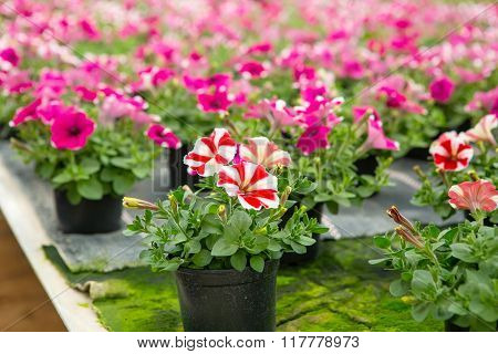 Cultivation of different flowers in greenhouse