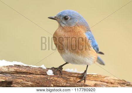 Male Eastern Bluebird In Snow