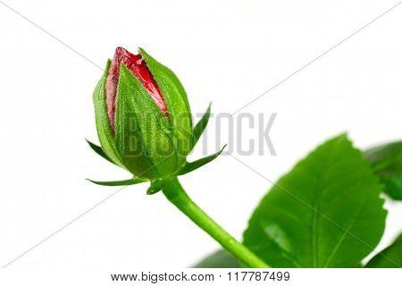 Not A Full-blown Bud Rosa-sinensis