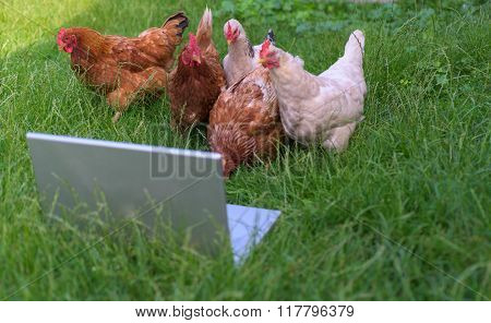 Chickens And Laptop.