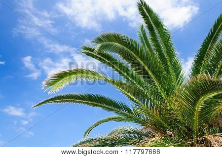 Palm Branches Against The Sky.