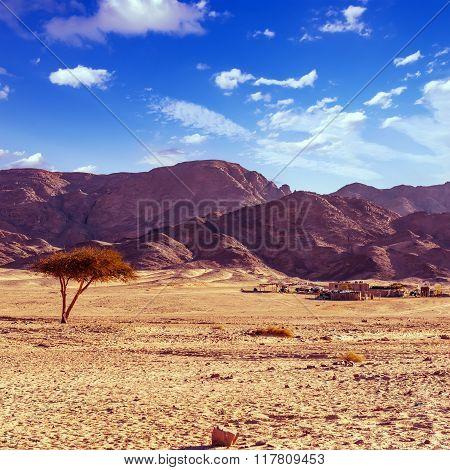 dry desert tree and beduin village sinai peninsula egypt poster