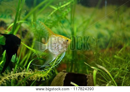Aquarium Scalare fish floating in the water