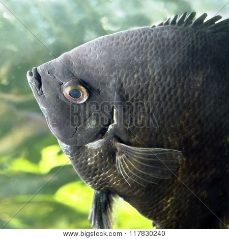 Fish angelfish in water close-up