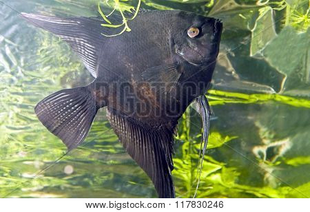 Fish angelfish in water