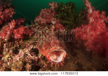 Scorpionfish camouflaged in coral reef