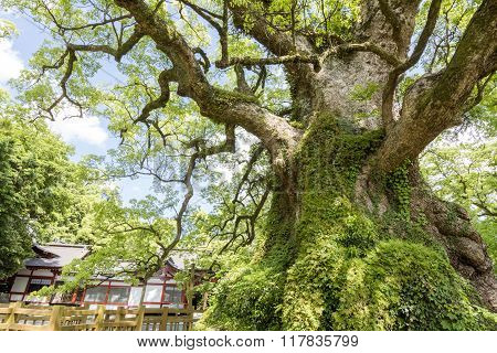 Large camphor tree
