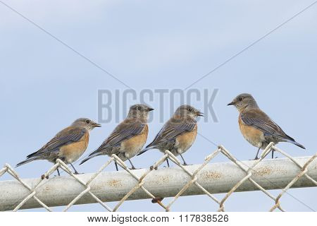 Four Female Easter Bluebirds (sialia Sialis) On A Chain Link Fence