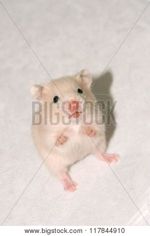 Baby White Hamster