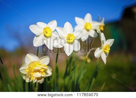 Bright Blooming Narcissus