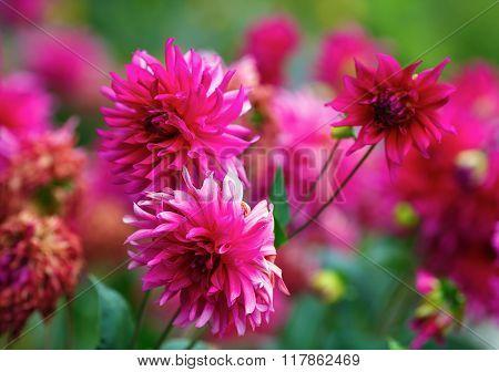 Purple Chrysanthemum Flowers