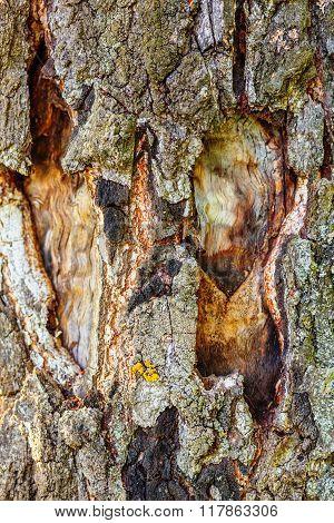 Closeup of birchen bark texture with moss