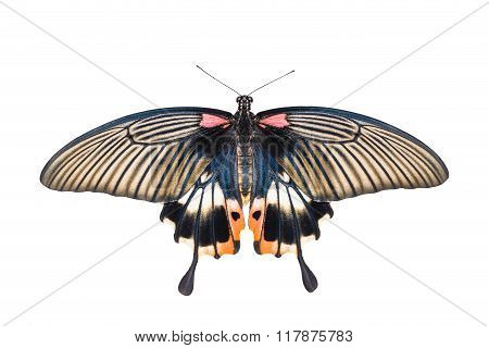 Isolated Yellow Body Female Great Mormon Swallowtail Butterfly On White