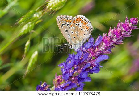 Common Blue butterfly on a wild sage at summer season in Ukraine