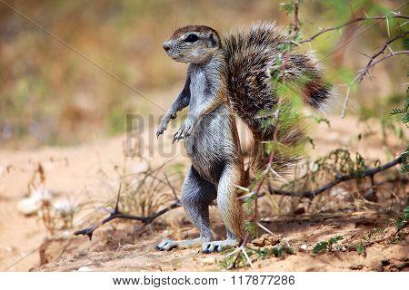Ground Squirrel At Kgalagadi