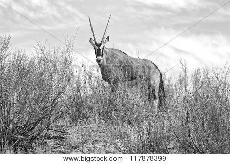 Oryx At Kgalagadi National Park