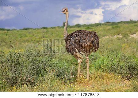 Ostrich At Kgalagadi National Park