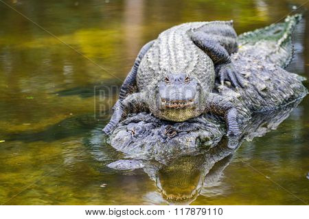Mother alligator carries his hatchling in water