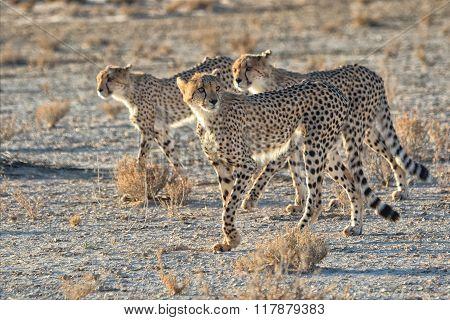 Three Cheetahs At Kgalagadi