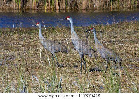 Three Sandhill Cranes At Everglades National Park Usa