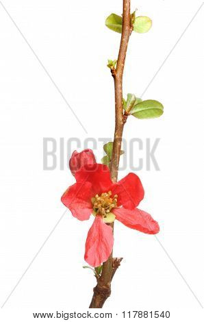 Japonica Flower And Foliage