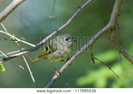 Juvenile Goldcrest In Firry Forest