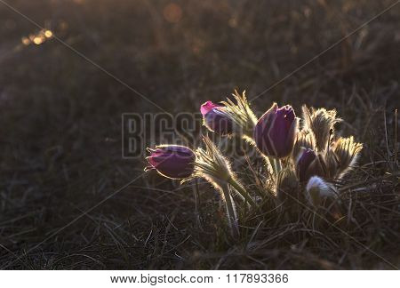 Pasque Flower blooming at the sunset