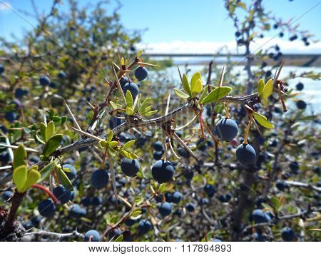 Typical Blue Berry El Calafate In Argentinian Patagonia