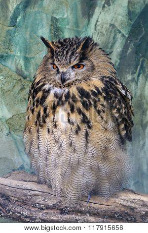 A large eagle owl (Bubo bubo) perched