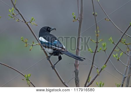 Common Eurasian Magpie
