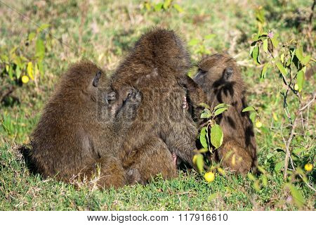 Family Of Olive Baboons During Grooming