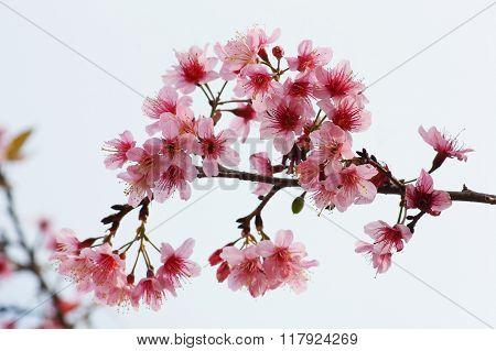 Thai sakura in winter at Phu Lomloh, Loi Province, Thailand.