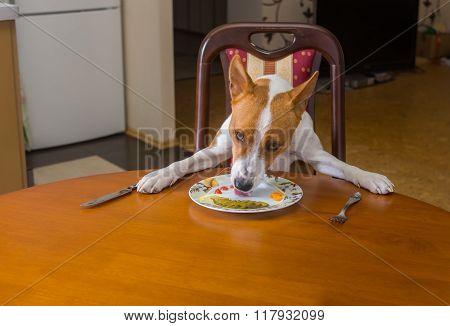 Smart Basenji dog is having lunch